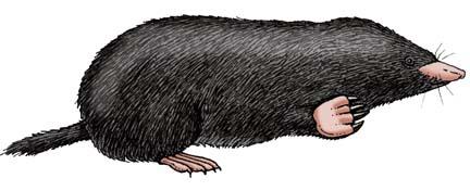 Mole (Hairy-tailed)