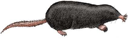 Mole (Star-nosed)