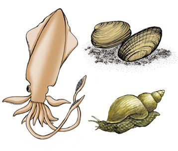 Phylum Mollusca Gastropods Bivalves Cephalopods