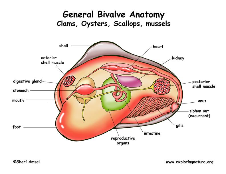 Clam anatomy diagram