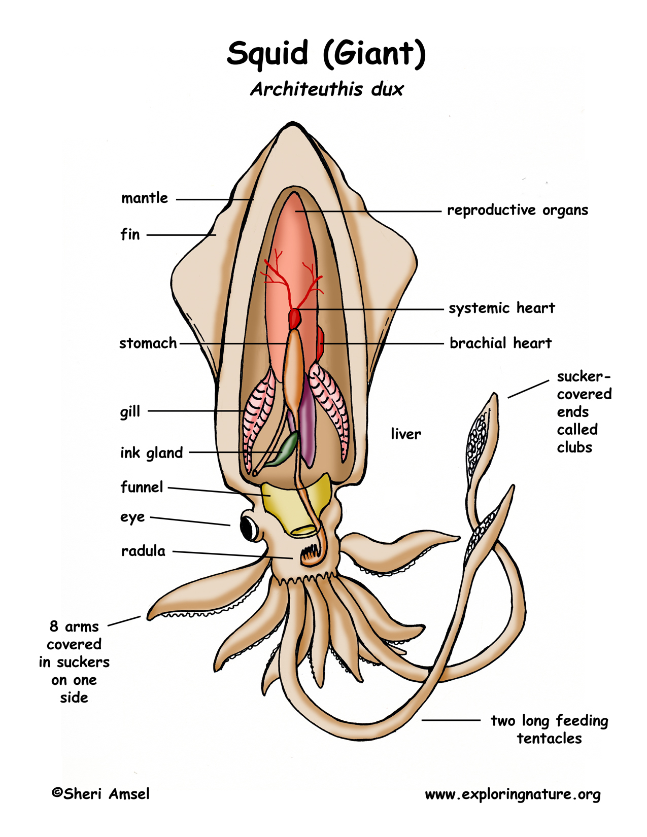 Squid Diagram Labeled Body Parts - Owner Manual & Wiring Diagram