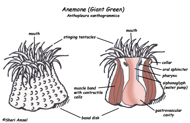 Sea Anemone Diagram Ne...
