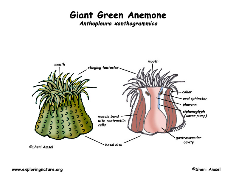 Anemone (Giant Green)
