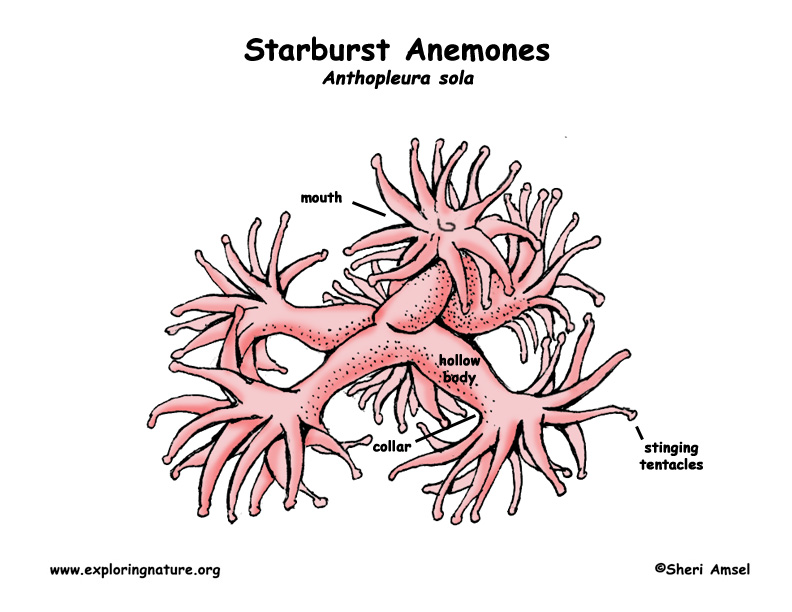 Anemones (Starburst)