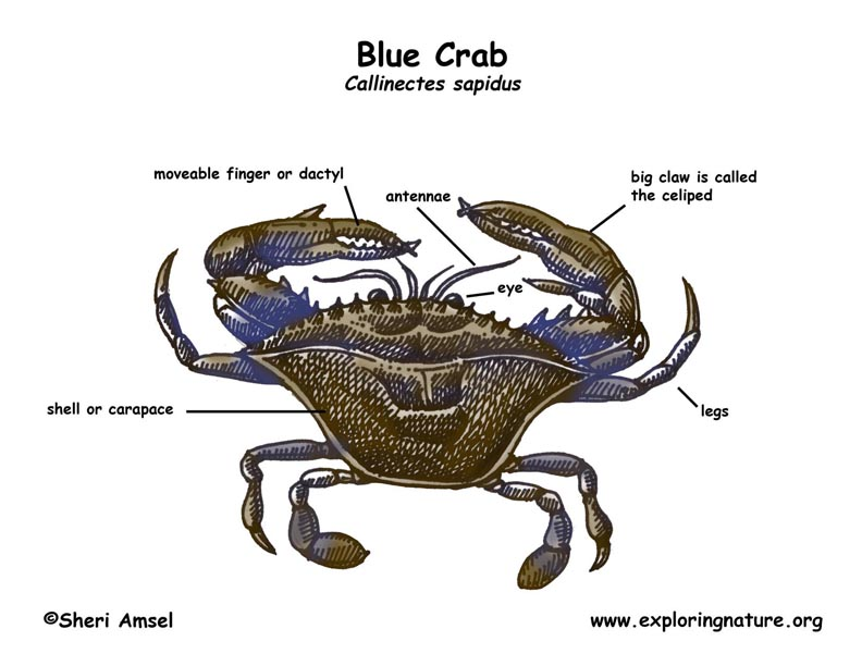 as the sponge matures these crabs are called sponge crabsCrab Diagram