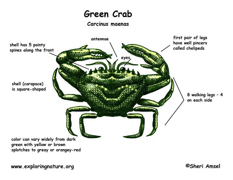 Blue Crab Diagram Of Inside - Wiring Diagram Services •