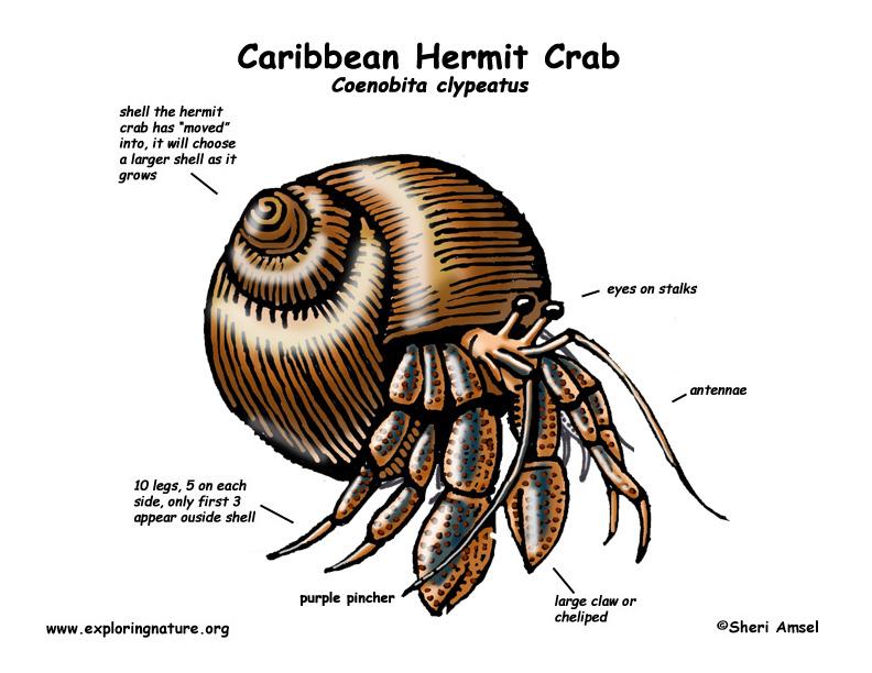 Hermit Crab (Caribbean)