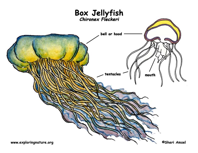 Jellyfish (Box)