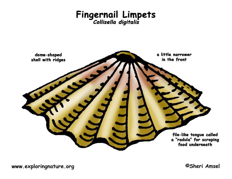limpets (fingernail)Limpet Diagram #9