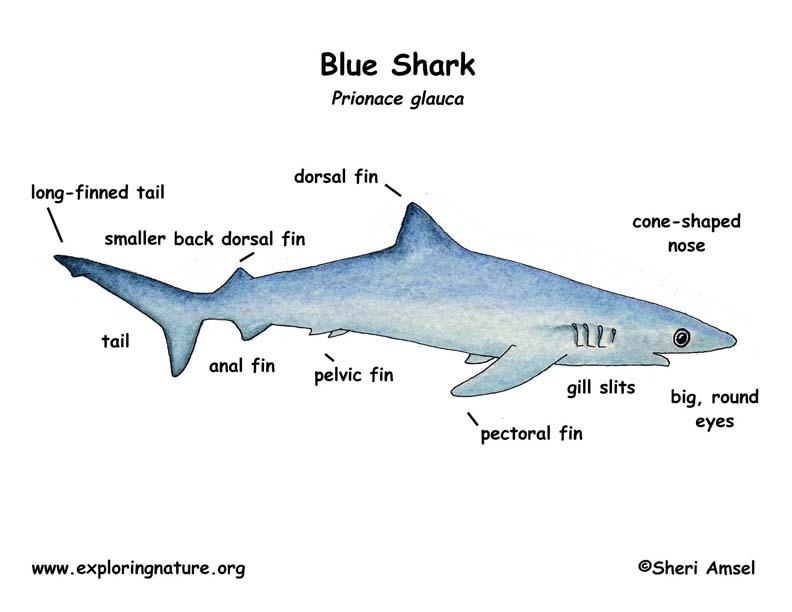 Megalodon - Shark Glossary - EnchantedLearning.com