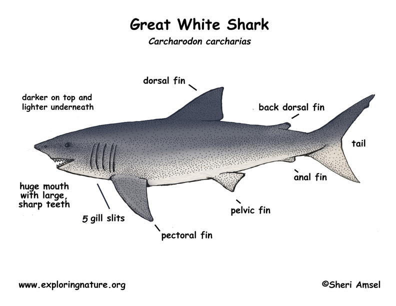 Shark (Great White)