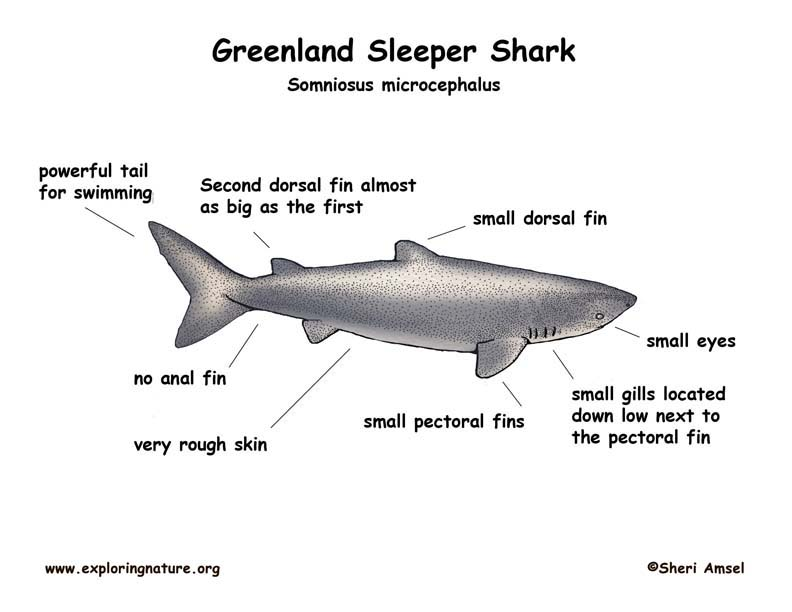Shark (Greenland)
