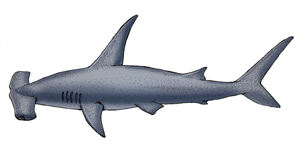 Shark (Smooth Hammerhead)