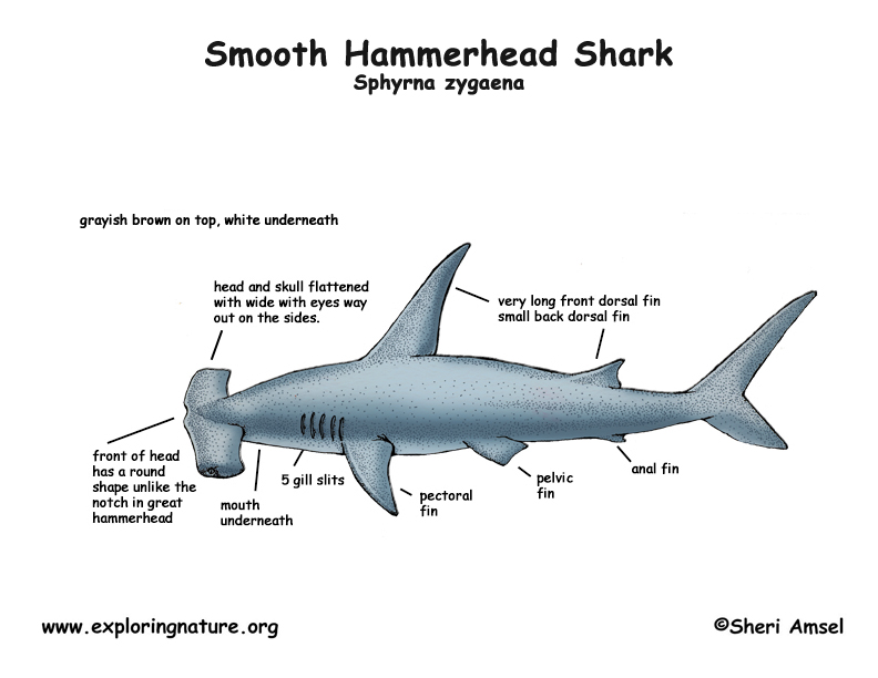 Shark Body Diagram - Data Wiring Diagrams •