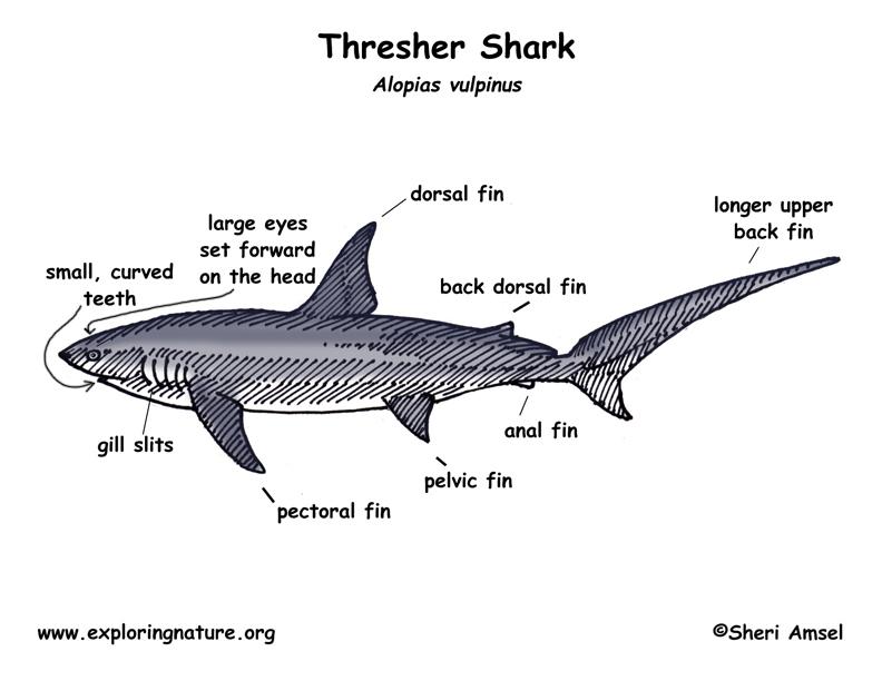 Shark (Thresher)