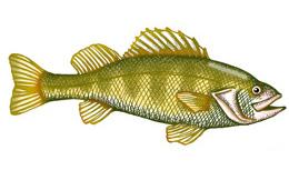 Perch (Yellow)