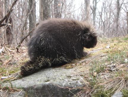Porcupine Photograph