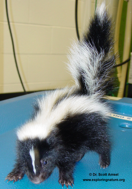 baby striped skunk