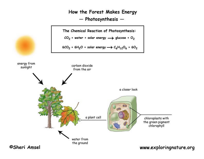 Photosynthesis photosynthesis text diagrams assessments experiments and link to standards ccuart Image collections