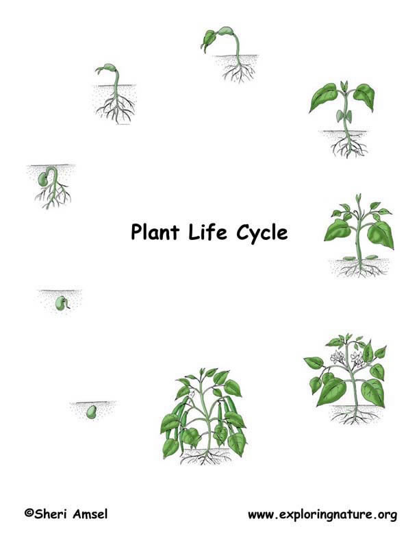 Plant Life Cycle Illustrated