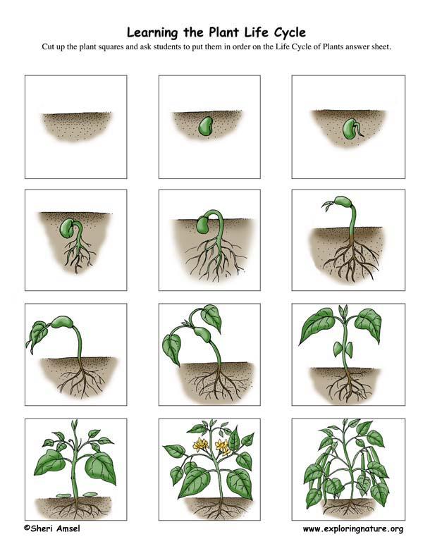 Plant Life Cycle Activity K 3