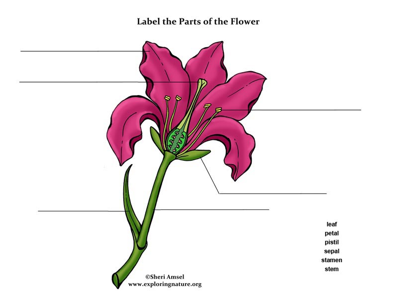 Label the Parts of the Flower (In Color for Elementary), color the flower