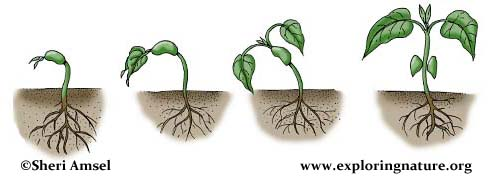 Plant Life Cycle Activity (K-3)