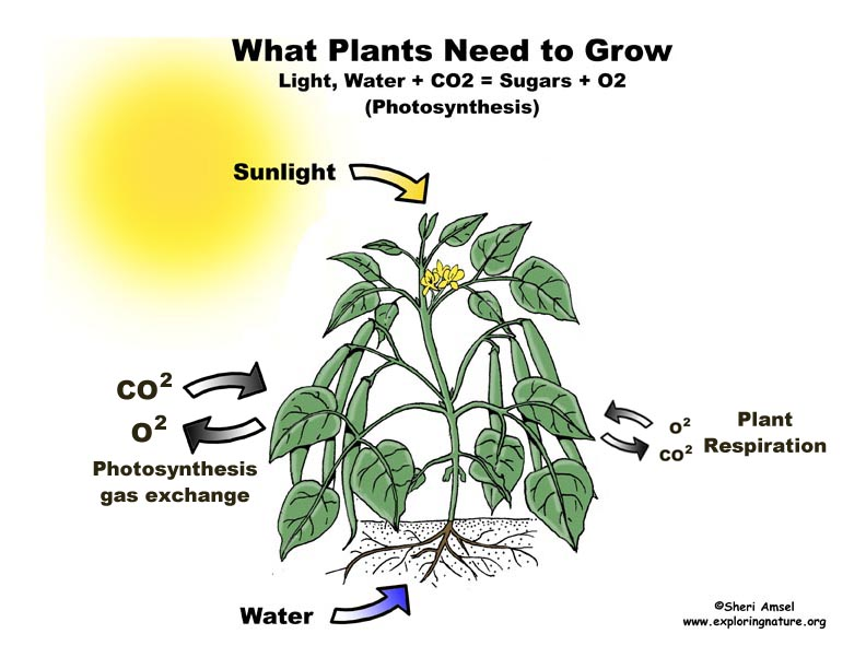 Photosynthesis Simplified, Plants Need Water And Light To Grow