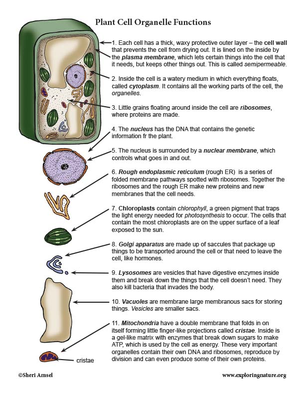 Plant Cell Organelles - Functions