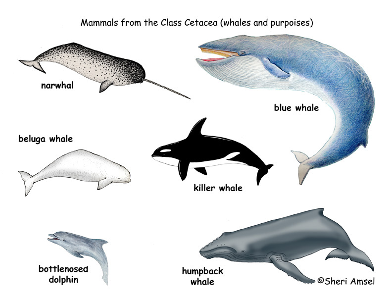 Different Types Of Whales Names as well Whale Shark Facts moreover ... Shark Species Chart