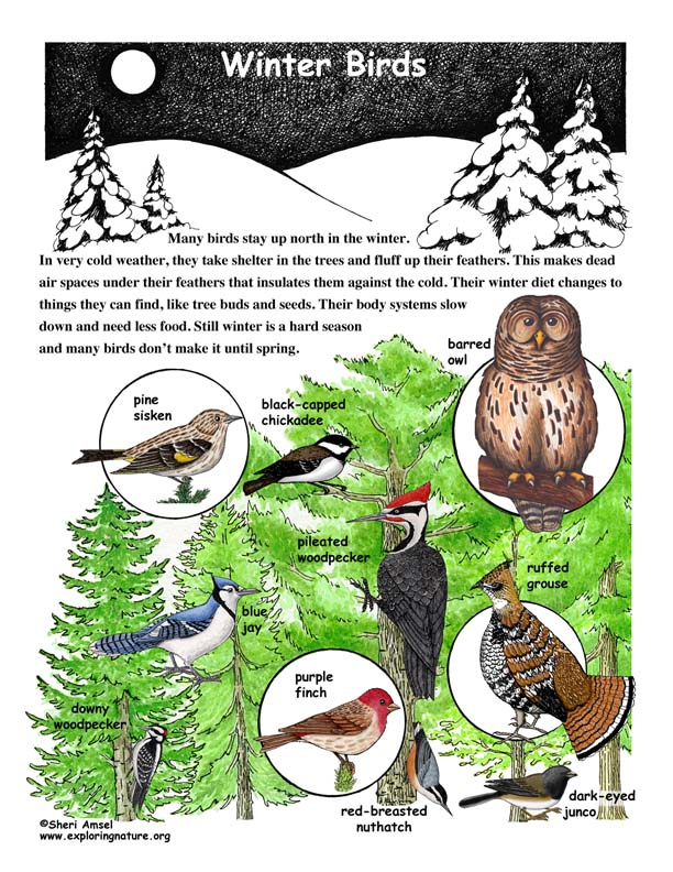 Winter Birds Illustrated and Named