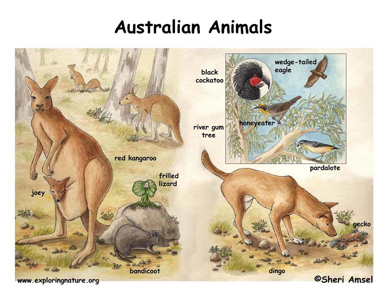 Australian Animals Illustrated and Named