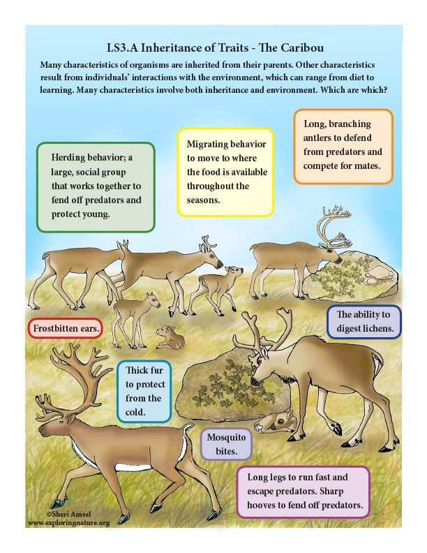 Inheritance of Traits in the Caribou - Mini-Poster