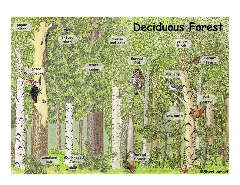 Deciduous Forest Poster