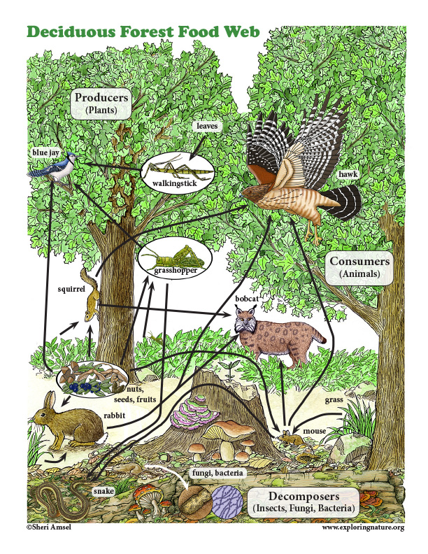 Forest Food Web Poster