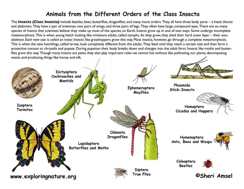 insect orders  classification