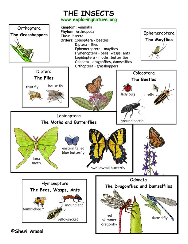 Insect Orders Illustrated and Named