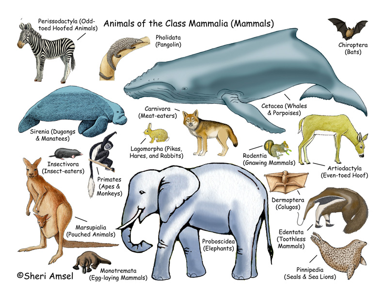 Mammals Illustrated and Named