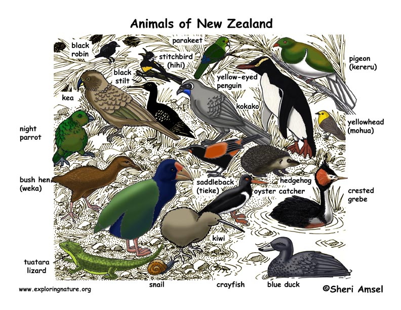 New Zealand Animals Illustrated and Named
