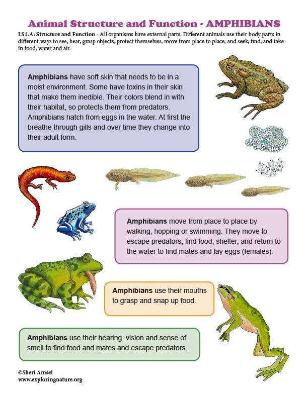 Structure and Function in AMPHIBIANS - Mini-Poster