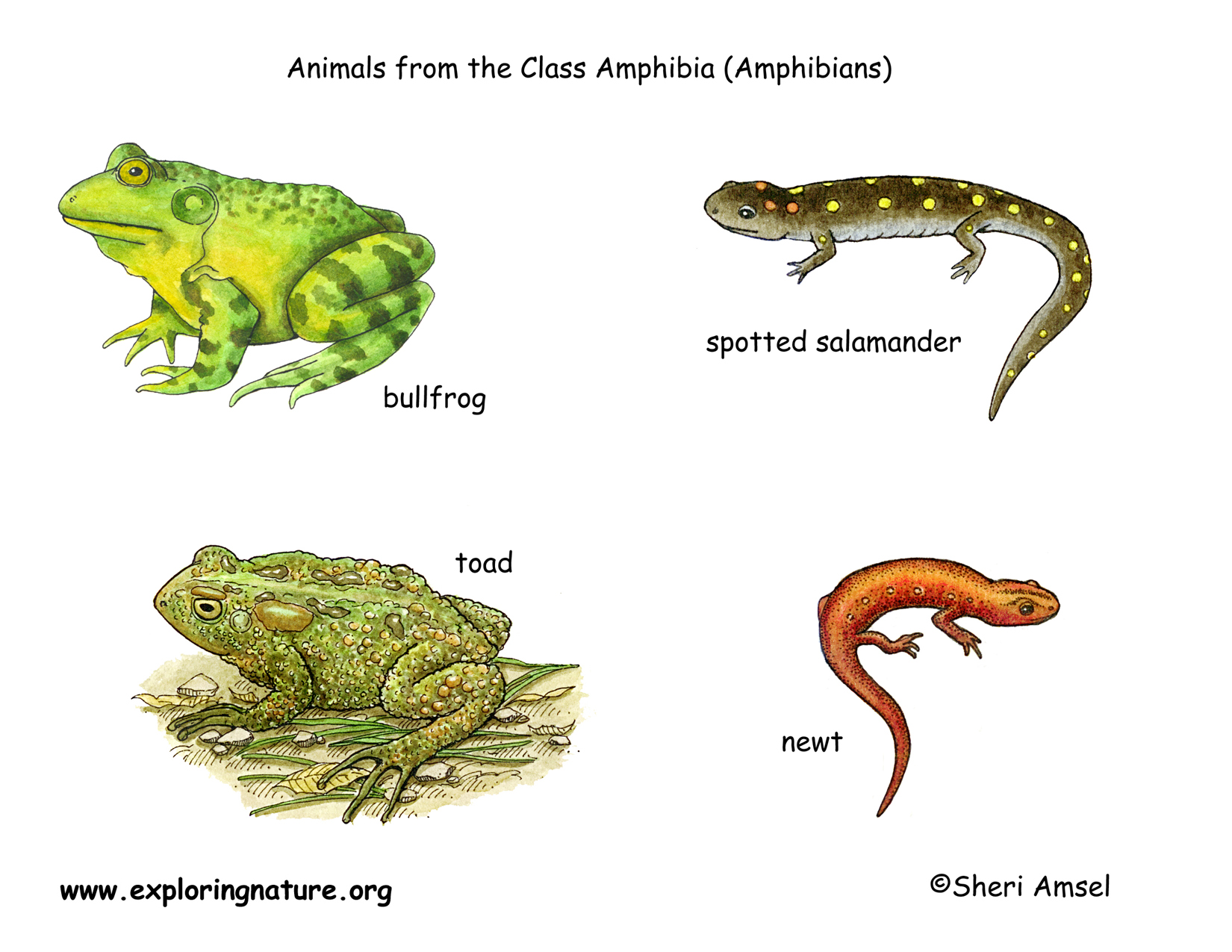 Types Of Amphibians For Kids