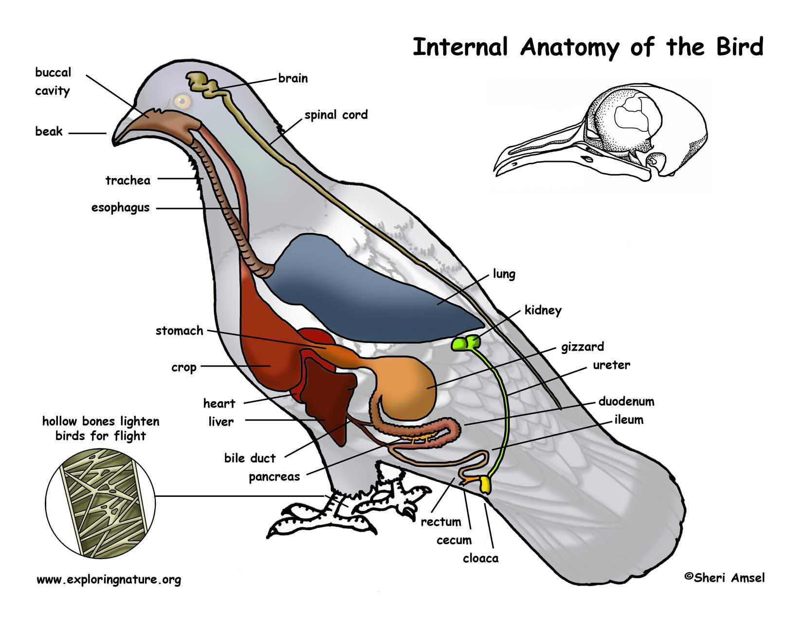 Internals Birds Anatomy Internal Parts Of A Bird With Manual Guide