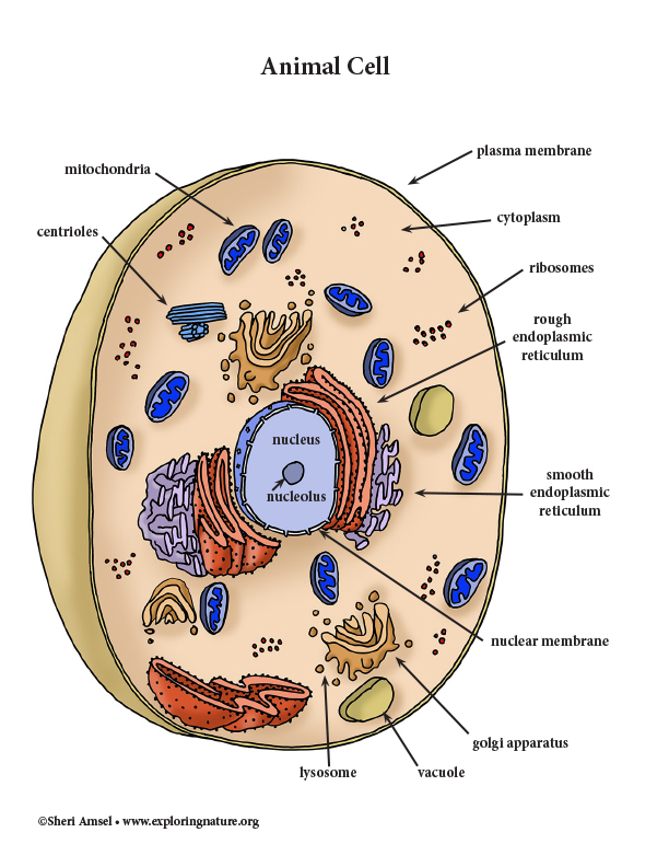 Cell and organelles