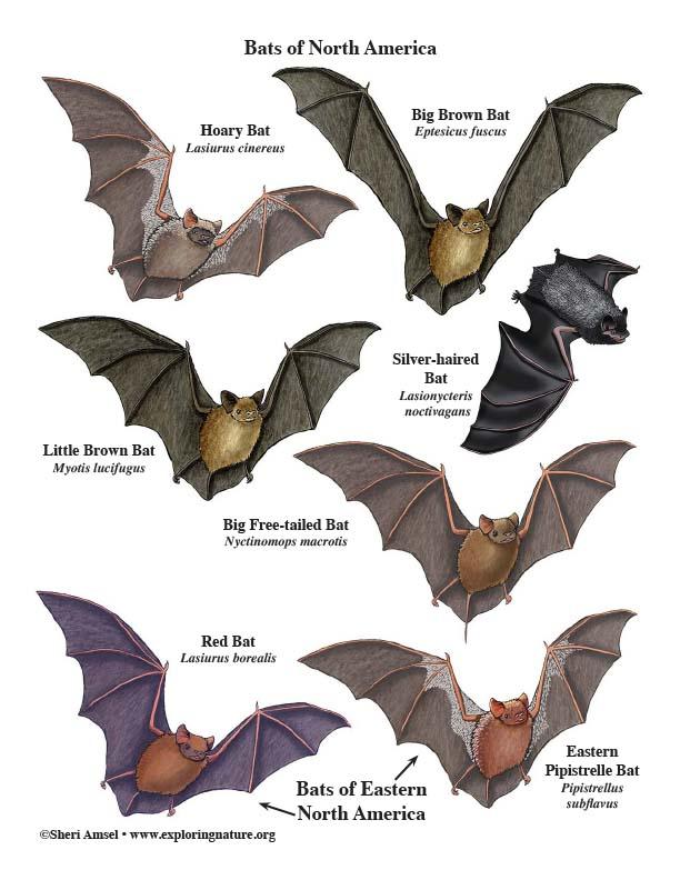 Bats of North America - Mini-Poster