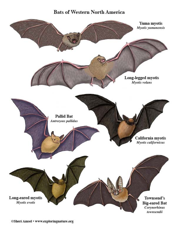 Bats of Western North America - Mini-Poster