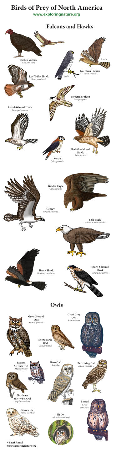 Birds of Prey of North America Giant Poster