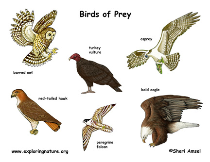 bird of prey poster exploring nature educational resource birds of prey 432x334