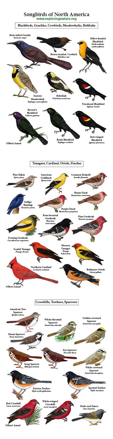 Songbirds Giants Poster - Blackbirds, Grosbeaks, Finches, Sparrow, Crossbills and More
