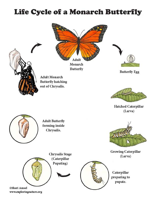 Monarch Butterfly Life Cycle (More Details for Older Students)