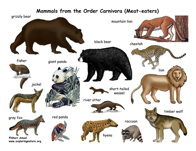 Carnivores (Order) Poster, mammals from the order carnivora, mammal carnivores, carnivore poster